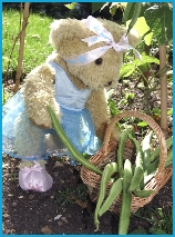 Melody Bear collects her beans from her garden